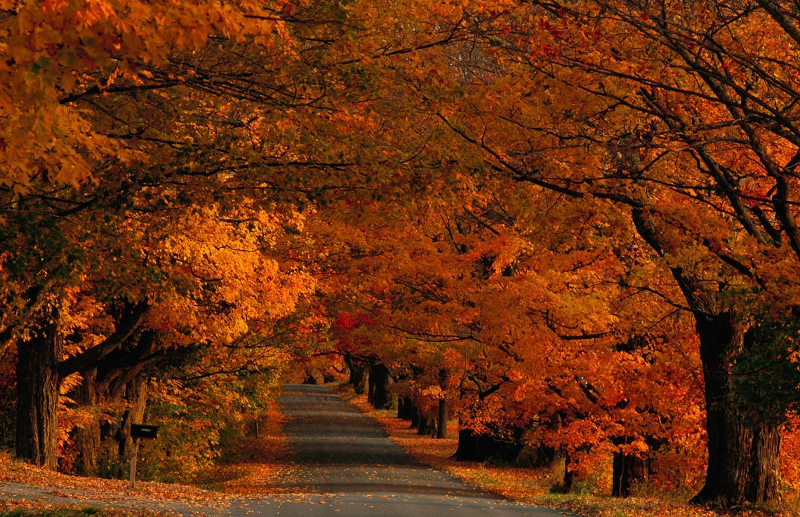 Sugar maples shade a quiet country road on the Gonyaw farm during fall.