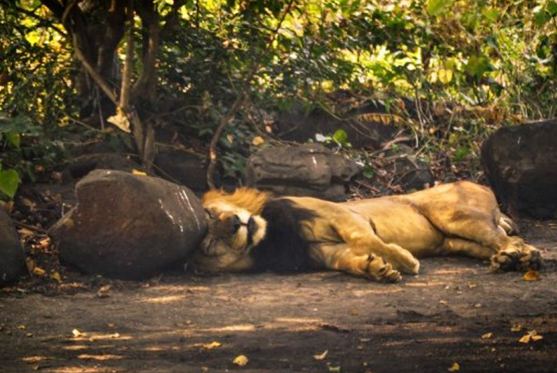 lion-at-sanjay-gandhi-national-park